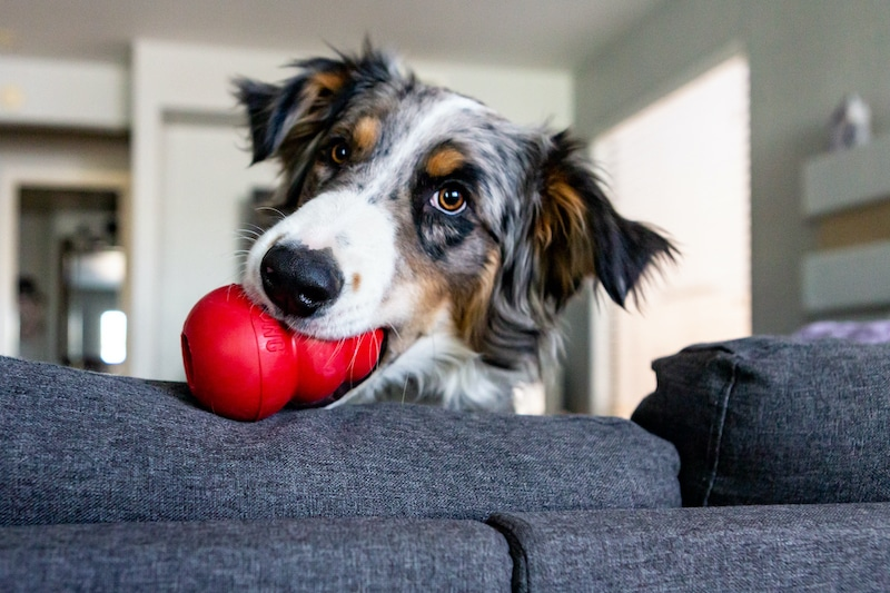 Win a KONG prize pack for your pup and 100 KONGS for a local shelter! 4 winners! Giveaway Image